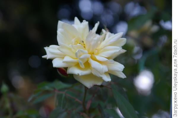Роза нуазетовая Marechal Niel