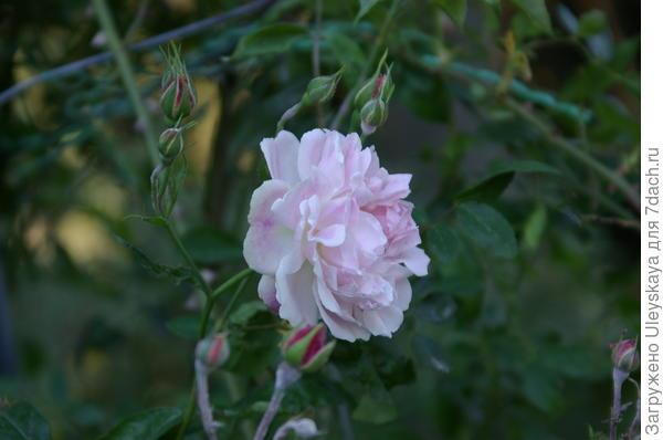 Роза индийская Rosa indica Loureiro