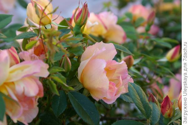 Старинная китайская роза с классическим ароматом шиповника