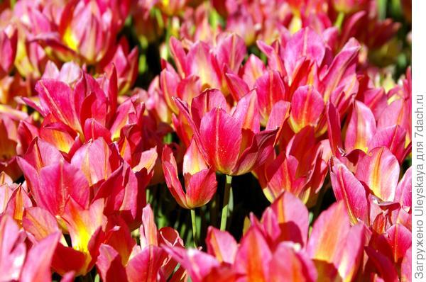 Тюльпан садовый сорт Antoinette