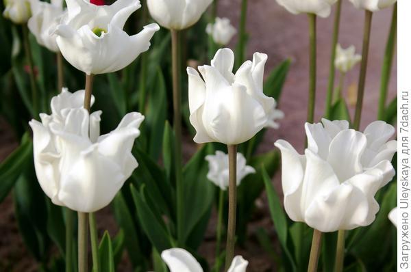 Тюльпан садовый сорт White Liberstar