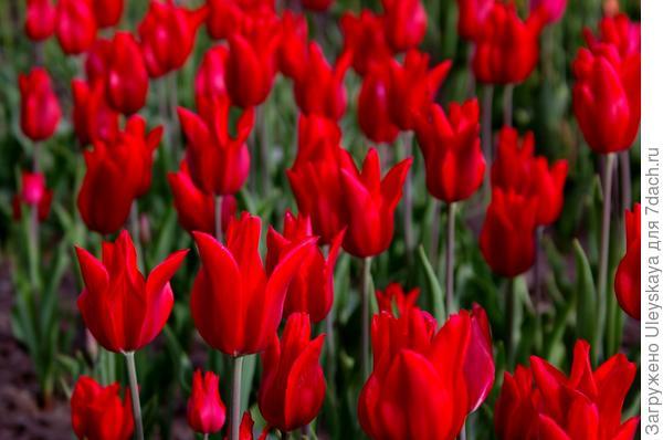Тюльпан садовый сорт Lily Chic