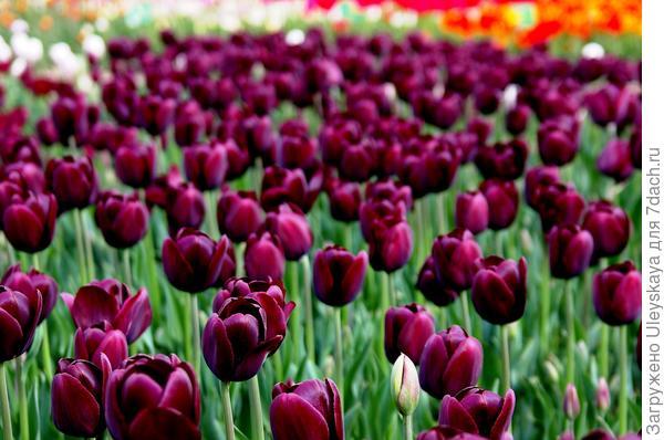 Тюльпан садовый сорт Cafe Noire