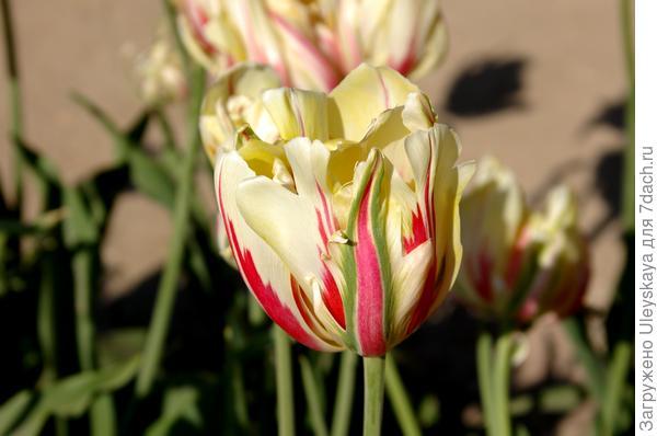 Тюльпан садовый сорт Glamour Unique