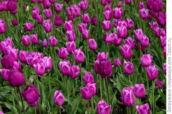 Тюльпан садовый сорт Bleu Amaible