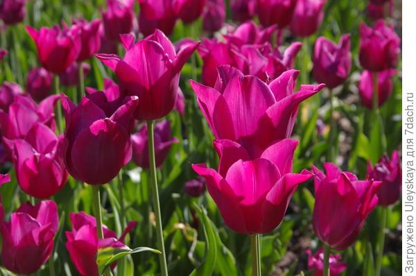 Отечественный сорт Скиф один из самых поздноцветущих тюльпанов