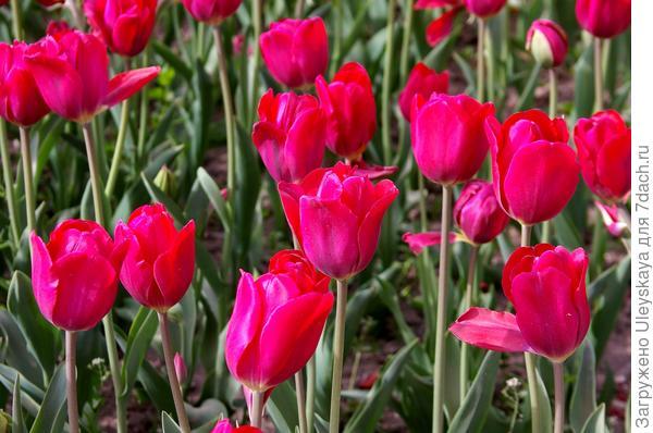 Тюльпан садовый сорт Merry Go Round