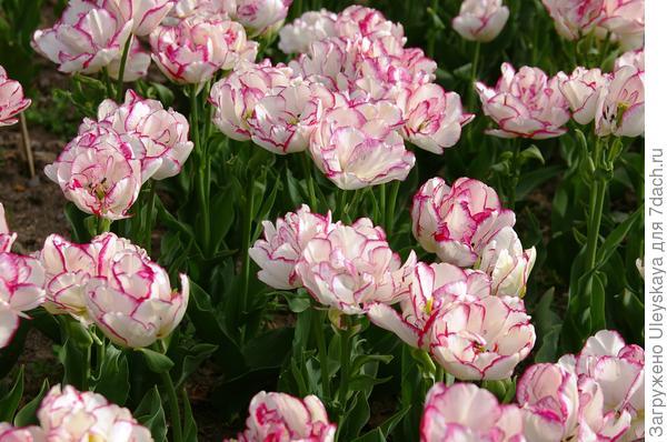 Тюльпан садовый сорт Belicia