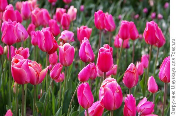 Тюльпан садовый сорт Prinses Irene Roze