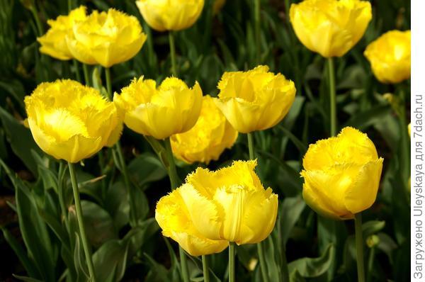 Тюльпан садовый сорт Exotic Sun