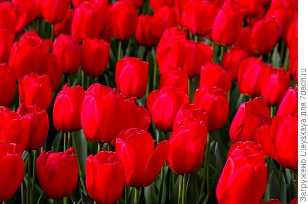 Тюльпан садовый сорт Red Impression