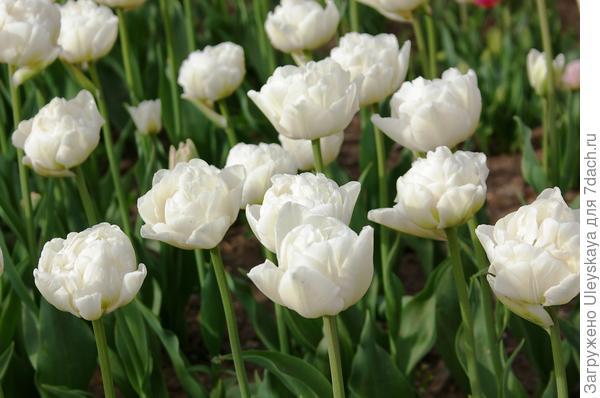 Тюльпан садовый сорт Double Polar