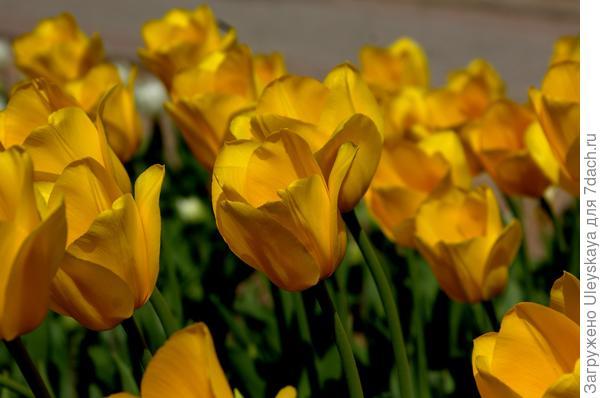 Тюльпан садовый сорт Conqueror