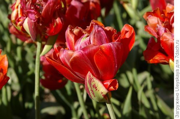 Тюльпан садовый сорт Princess Unique