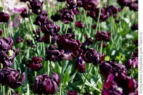 Тюльпан садовый сорт Black Hero