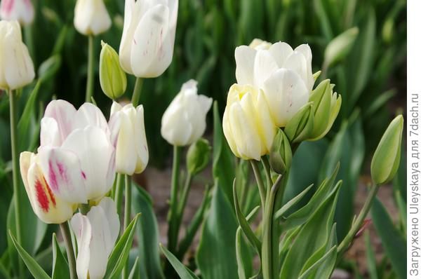 Тюльпан садовый сорт Tricolette