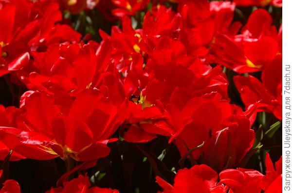 Тюльпан садовый сорт Abba