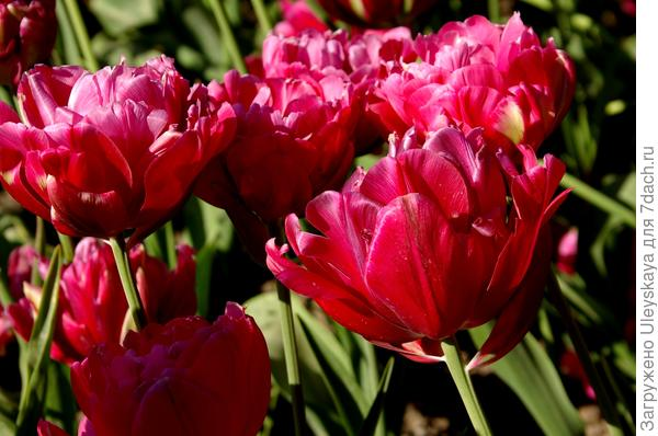 Тюльпан садовый сорт Renow Unique
