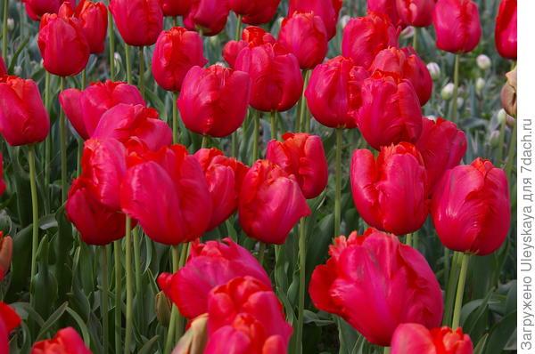 Тюльпан садовый сорт Webers Parrot