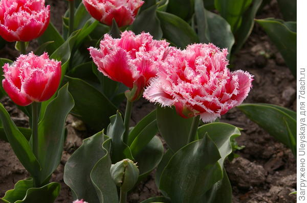 Тюльпан садовый сорт Joint Division
