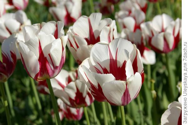 Тюльпан садовый сорт World Expression