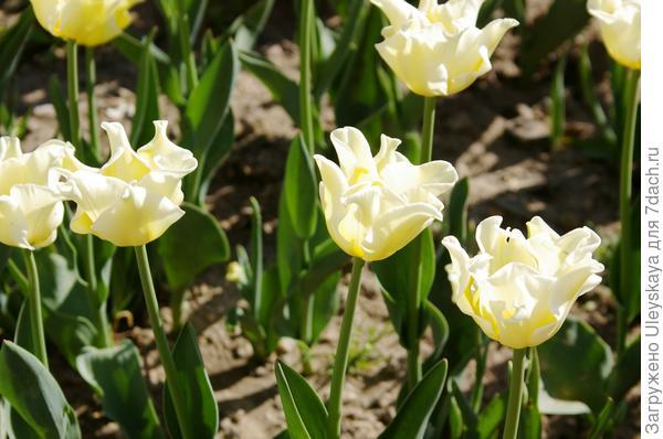 Тюльпан садовый сорт Yellow Crown