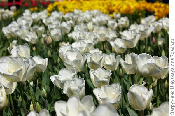 Тюльпан садовый сорт Darwisnow