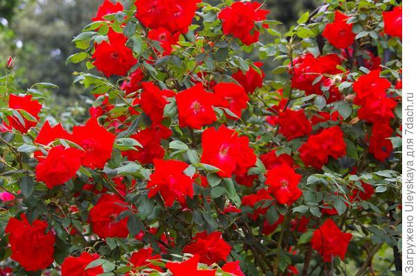 Роза садовая полуплетистая Bischofsstadt Paderborn