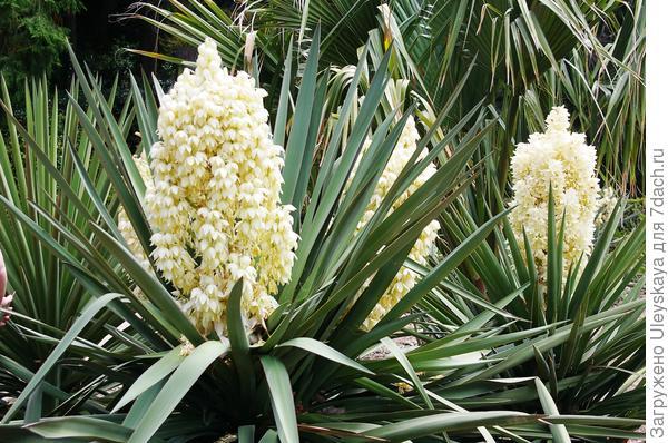 Цветет юкка торрея в Никитском ботаническом саду, 13 мая этого года
