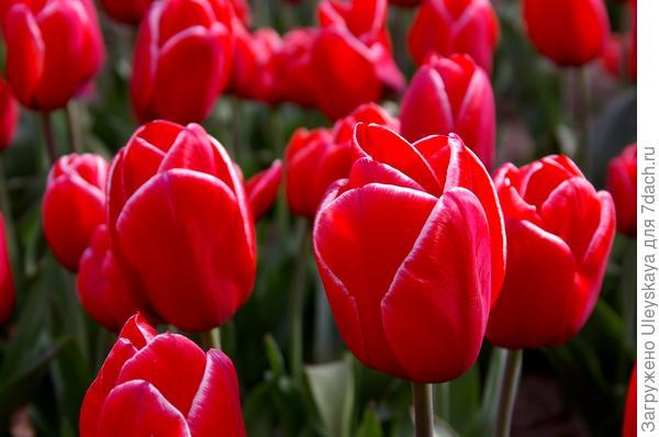 Тюльпан садовый сорт Ana Krasavitsa