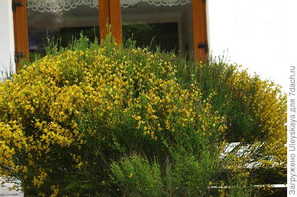 Ракитник венечный в Партените, цветение в апреле, Южный берег Крыма