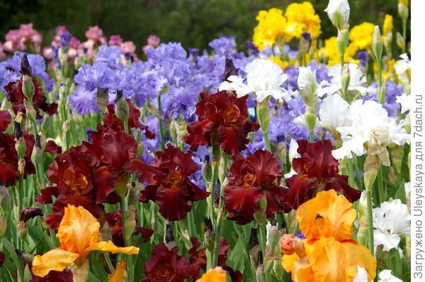 Цветут ирисы в Саду