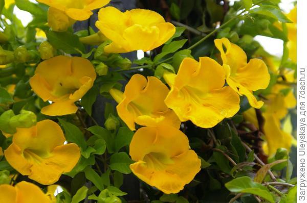 Цветки макфадиены коготковой или бигнонии коготковой более крупным планом