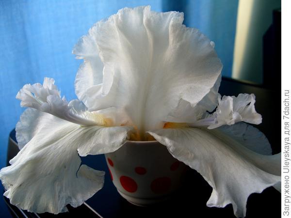 Цветок ириса гибридного сорт Mesmerizer