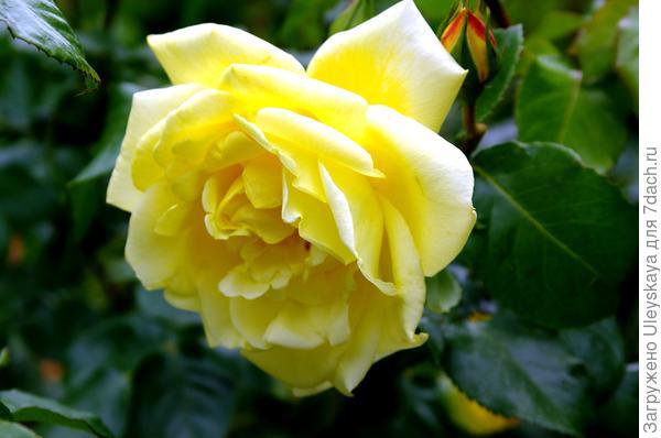 Цветки розы сорт Casino пахнут лимоном