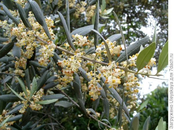 Когда цветет маслина европейская, то деревья словно окутаны ароматом лимона