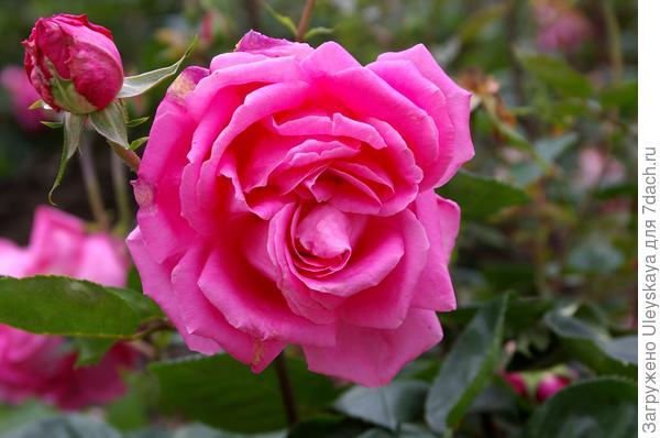 Роза Феодосийская красавица, фото автора