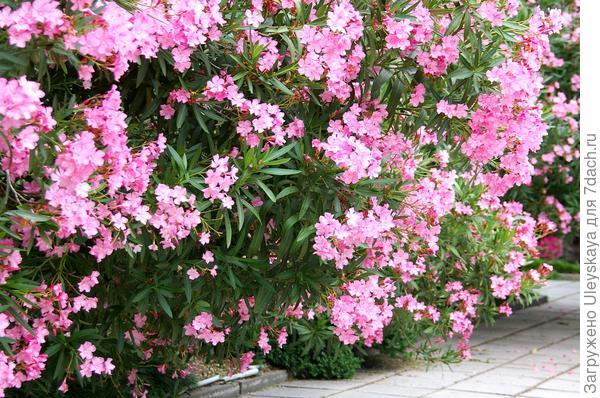 Цветут олеандры на Южном берегу Крыма