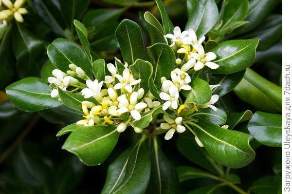 Ванилью и жасмином пахнут невзрачные цветки смолосемянника Тобира
