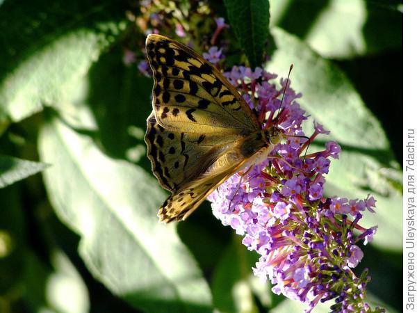 Благоухающая пряным медовым ароматом буддлея Давида привлекает в сад бабочек
