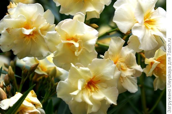 Цветет и пахнет олеандр обыкновенный