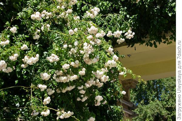 Роза плетистая Universes favorite