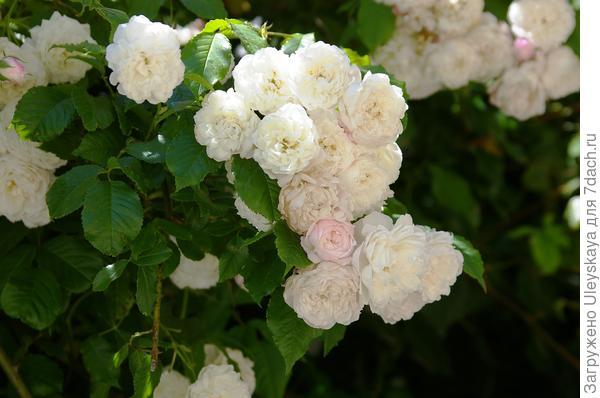 Цветение розы садовой плетистой сорт Universes favorite