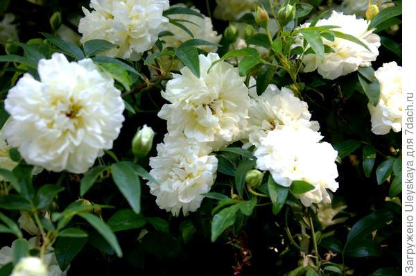 Цветки розы Форчуна крупным планом