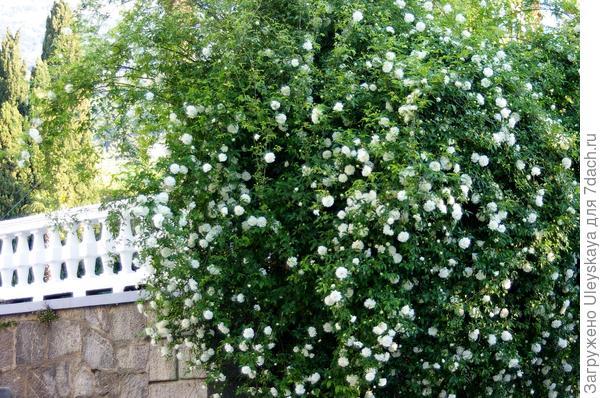Водопад цветения розы Форчуна в 2018 году