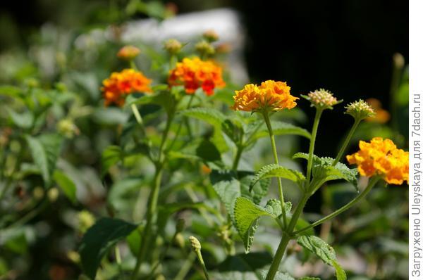 Неоднозначно воспринимается аромат листьев кадочной лантаныгибридной. Одни слышат запах кошачьей мочи, другие резкую смесь мяты, камфоры и лука