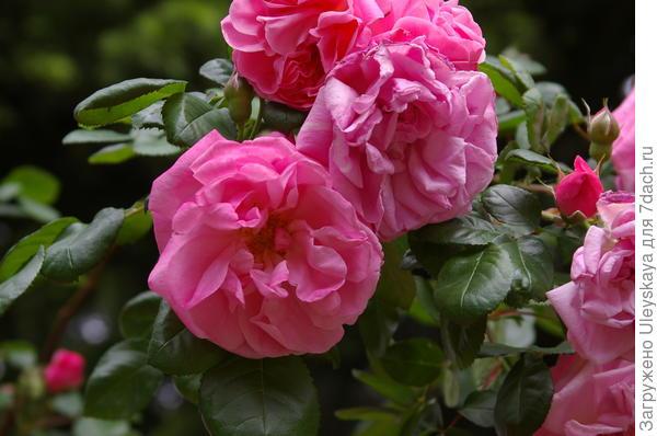 Роза садовая Весенняя заря