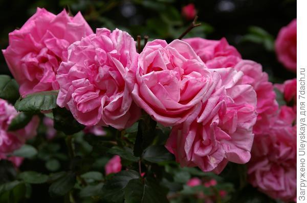 Цветки розы садовой сорта Весенняя заря пахнут клопами