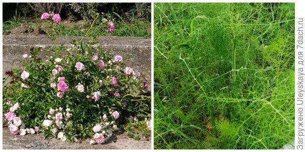 Роза эфиромасличная, фото автора. Укроп пахучий, фото автора