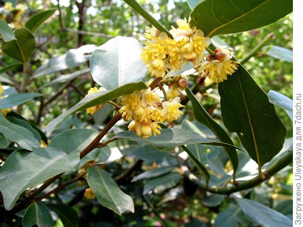 Лавр благородный в цветении, фото автора